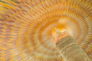 Spiraalkokerworm (Spirographis spallanzanii)