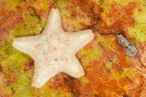 Vijfhoekige zeester (Asterina gibbosa)