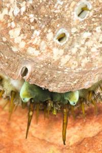 Zeeoor (Haliotis tuberculata)