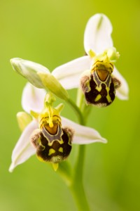 Hommelorchis (Ophrys holoserica)