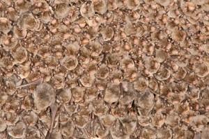 Schreibers vleermuizen (Miniopterus schreibersii)