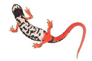 Brilsalamander (Salamandrina perspicillata)