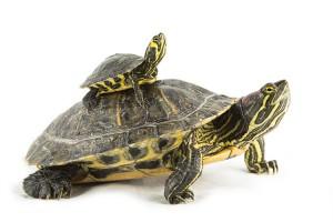 Waterschildpadden (Trachemys scripta troosti & Trachemys scripta elegans)