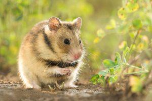 Roemeense hamster (Mesocricetus newtoni)