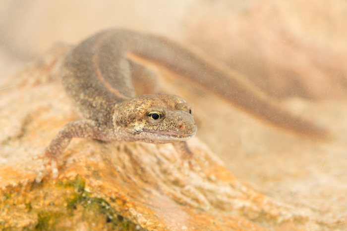 Corsicaanse beeksalamander (Euproctus montanus)