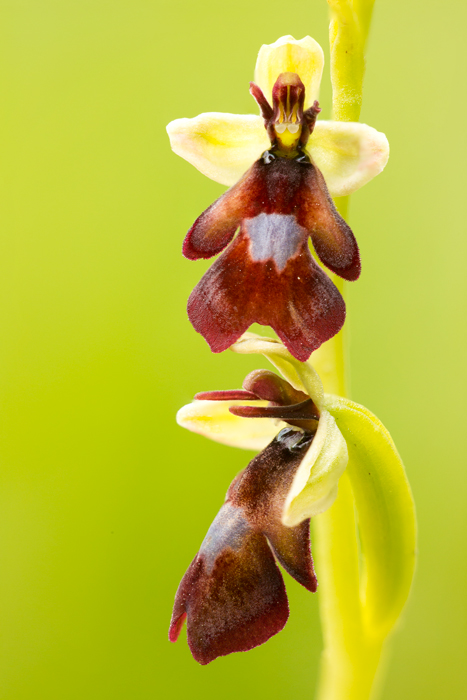 Vliegenorchis (Ophrys insectifera)