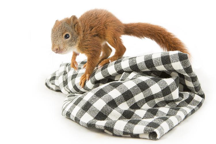 Juveniele eekhoorn (Sciurus vulgaris)