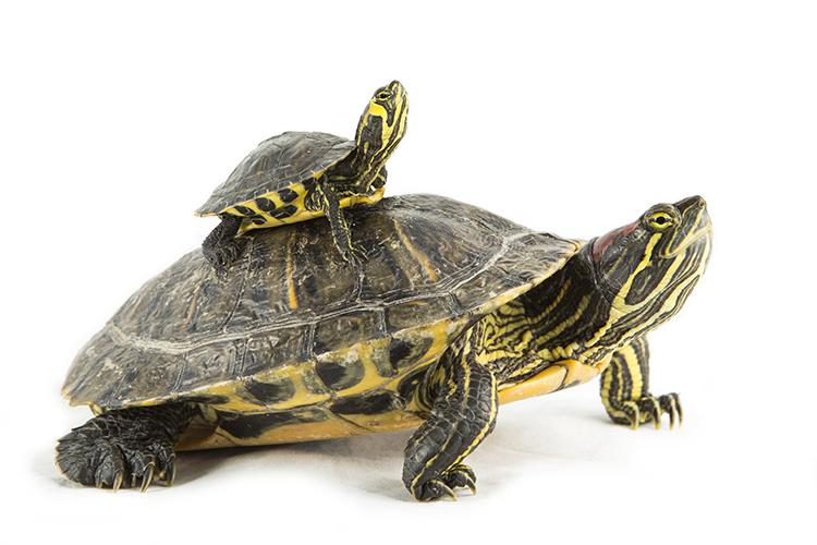 Roodwangschildpad (Trachemys scripta elegans) en Geelwangschildpad (Trachemys scripta troosti)