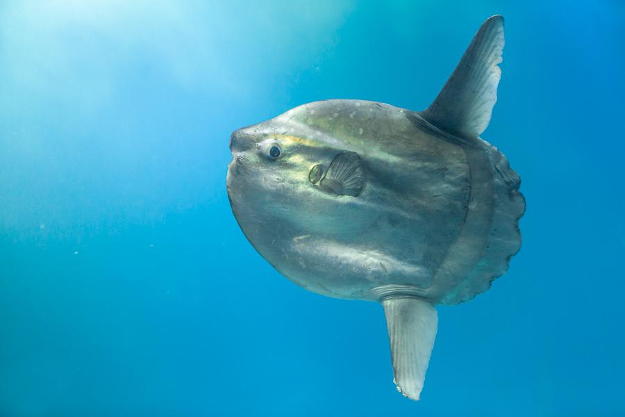 Maanvis (Mola mola) - Captive