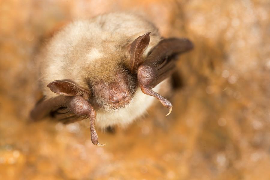 Kleine vale vleermuis (Myotis blythii)