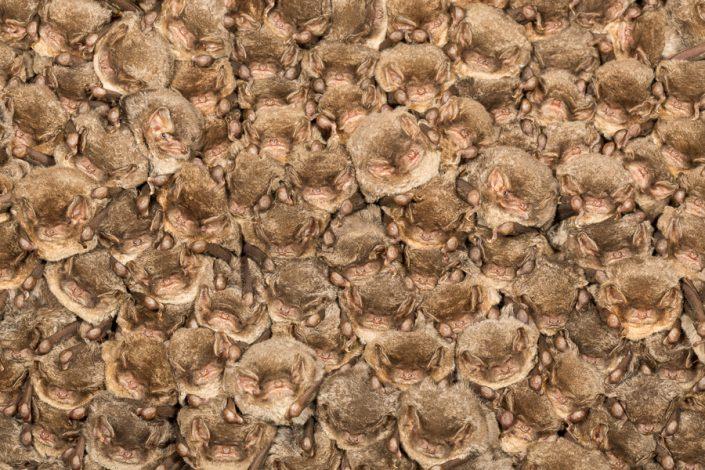 Schreiber's vleermuizen (Miniopterus schreibersii)