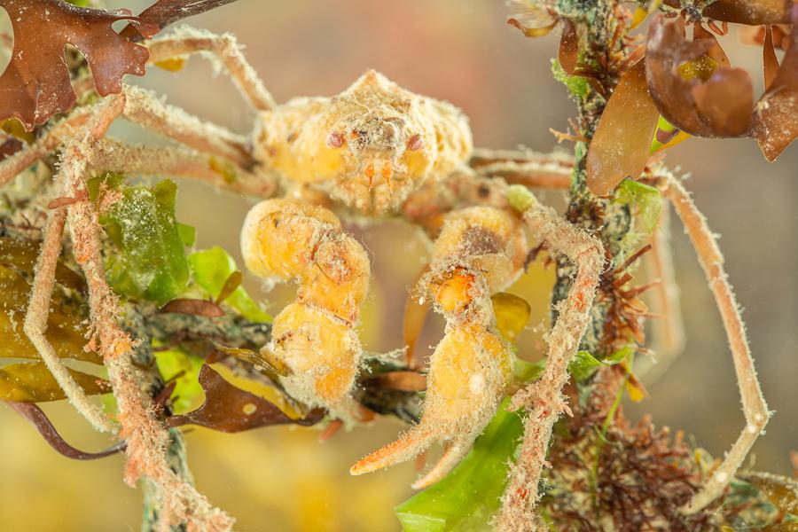 Gladde sponspootkrab (Inachus phalangium)
