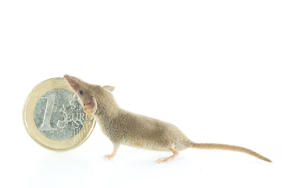 Wimperspitsmuis (Suncus etruscus), geen Photoshop, wel één van de kleinste zoogdieren ter wereld