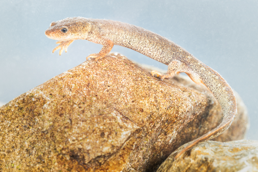 Montseny beeksalamander (Calotriton arnoldi)