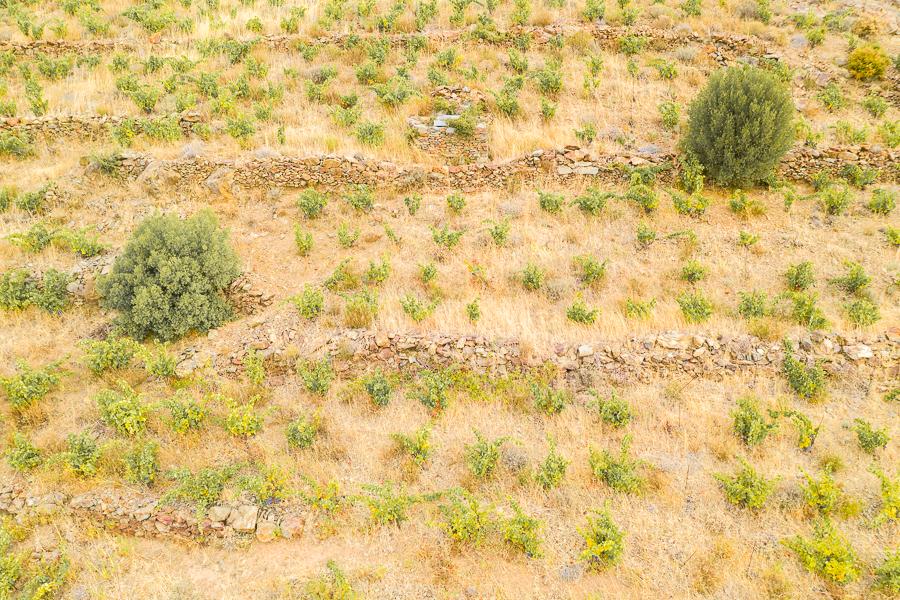 Onbespoten wijngaard met legmuurtjes, het biotoop van de wimperspitsmuis.