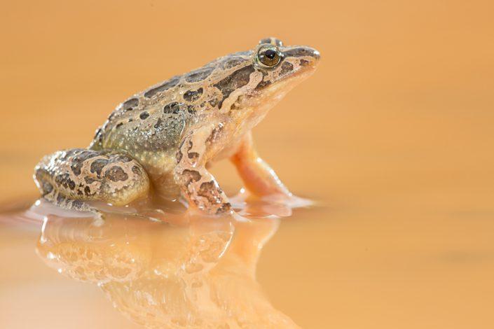 Schijftongkikker (Discoglossus pictus)