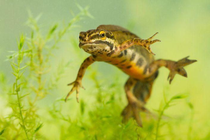 Hybride Kleine watersalamander (Lissotriton vulgaris) x Vinpootsalamander (Lissotriton helveticus)