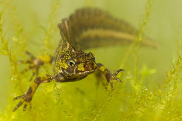 Marmersalamander (Triturus marmoratus)