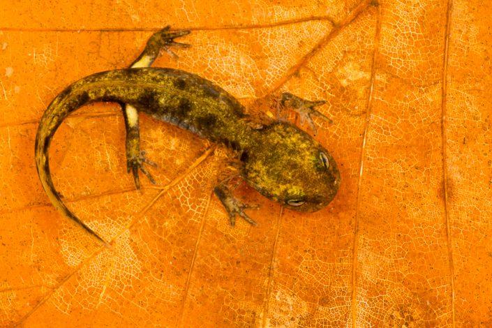 Larve vuursalamander (Salamandra salamandra)