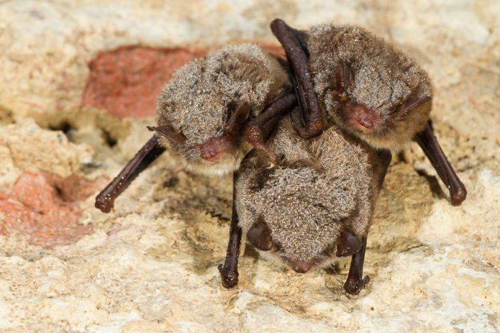 Watervleermuizen (Myotis daubentonii)