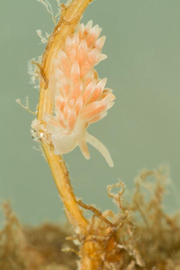Gorgelpijp-knotsslak (Cuthona gymnota)