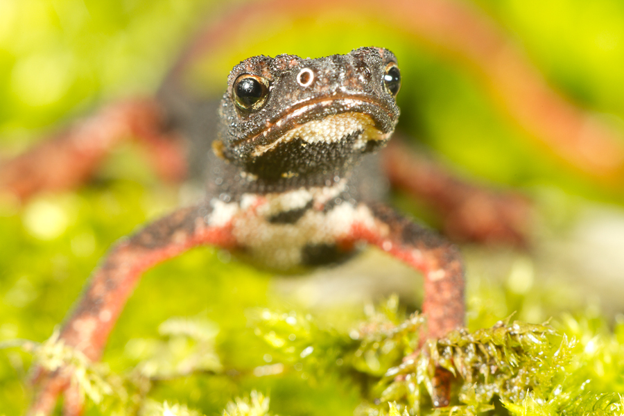 Brilsalamander (Salamandrina terdigitata)