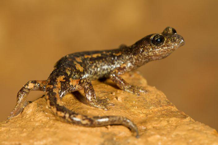 Ambrosi's grottensalamander (Speleomantes ambrosii)