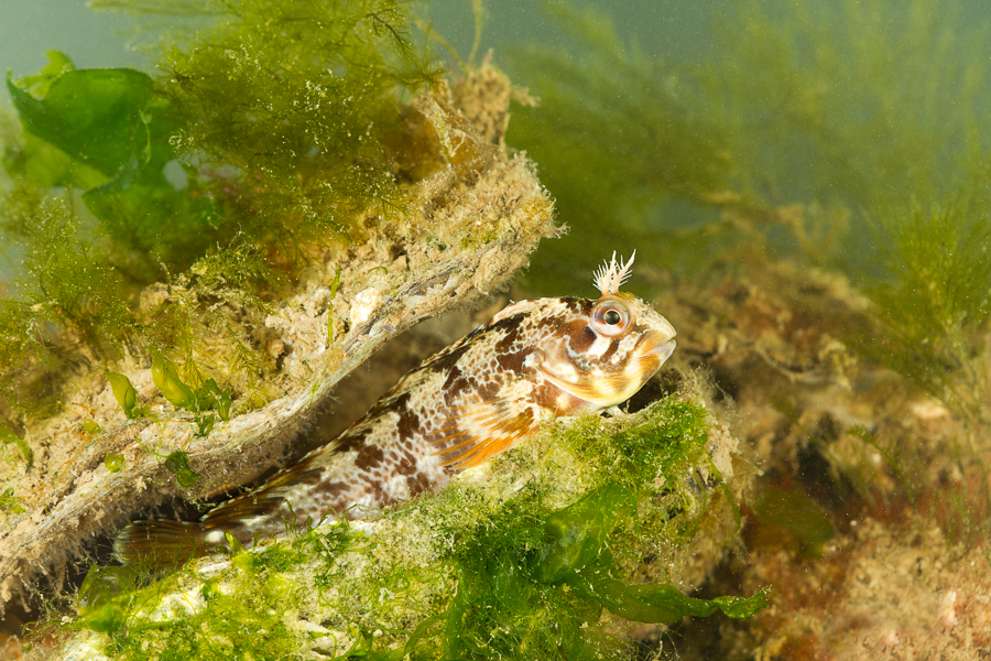 Gehoornde slijmvis (Parablennius gattorugine)