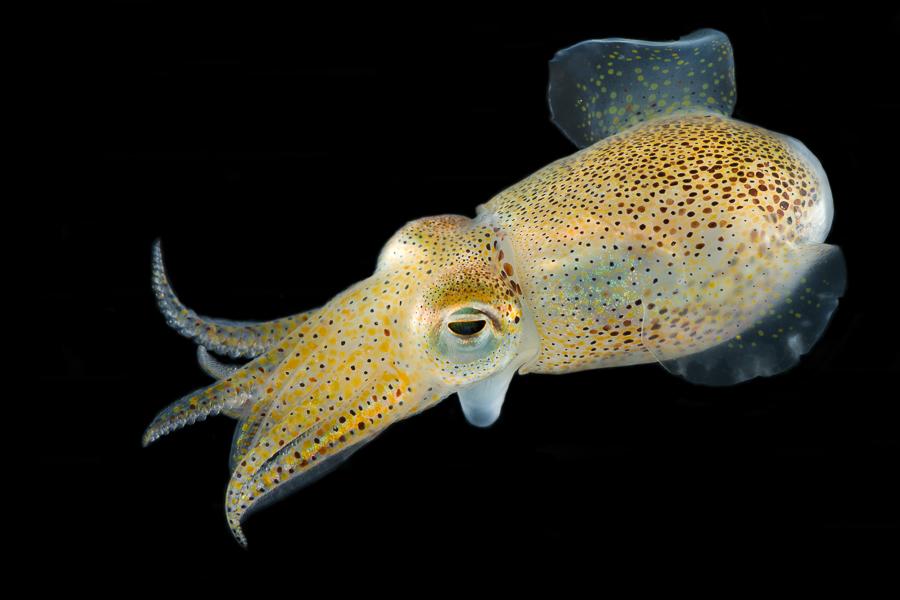Dwerginktvis (Sepiola atlantica)