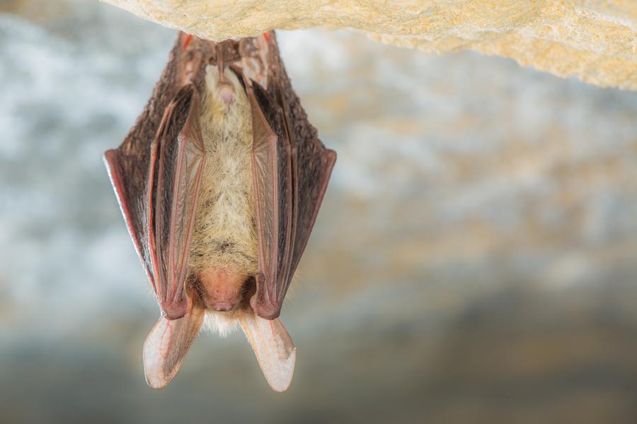 Bechsteins vleermuis (Myotis bechsteinii)