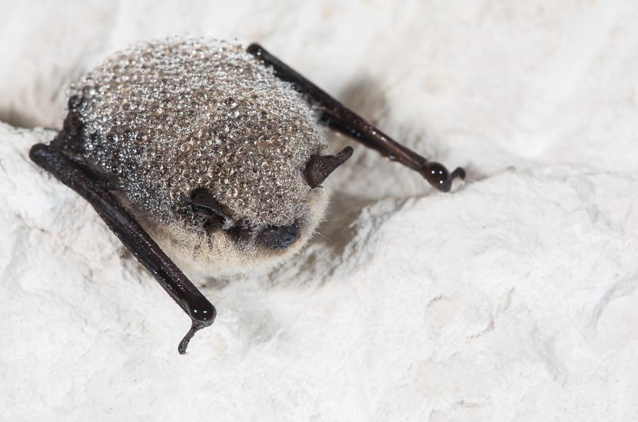 Baardvleermuis (Myotis mystacinus)