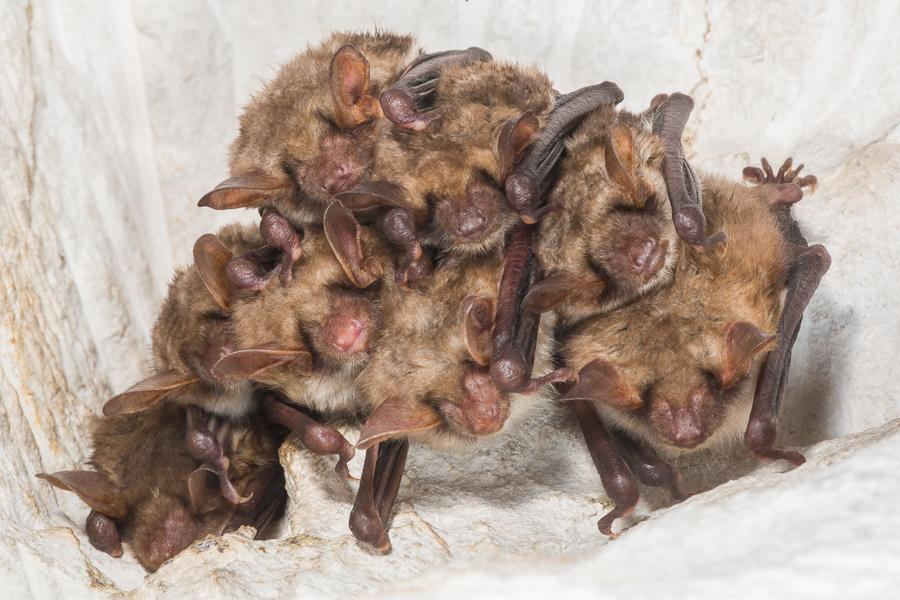 Vale vleermuizen (Myotis myotis)