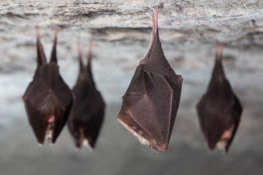 Overwinterende vleermuizen