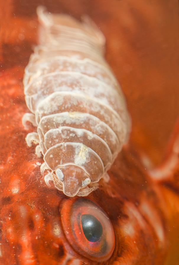 Parasitaire isopode op Zwartooglipvis (Symphodus melops)