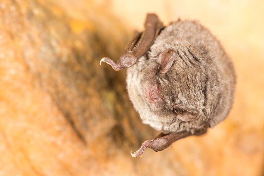 Schreibers vleermuis (Miniopterus schreibersii)