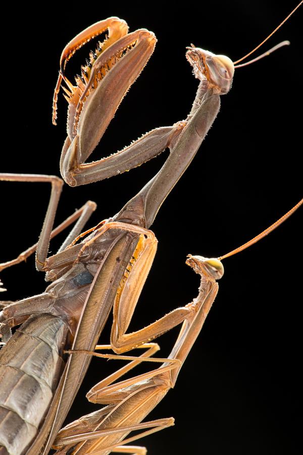 Europese bidsprinkhaan (Mantis religiosa)