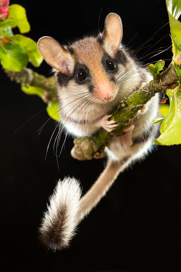 Eikelmuis (Eliomys quercinus)