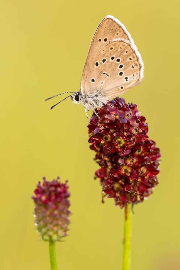 Pimpernelblauwtje (Maculinea telejus)