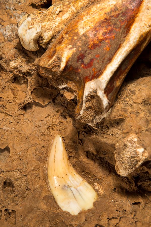 Tand en beenderen van de Holenbeer (Ursus spec.)