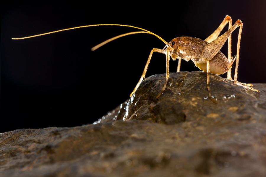 Grottensprinkhaan (Troglophilus cavicola)