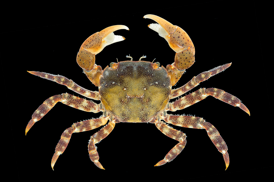 Asian shore crab – Blaasjeskrab – Hemigrapsus sanguineus