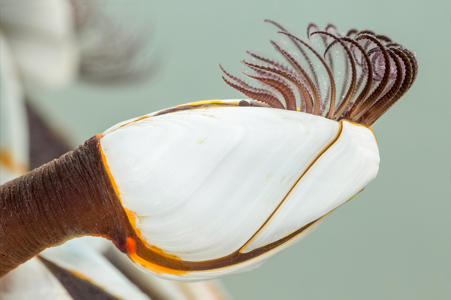 Grote eendenmossel (Lepas anatifera)