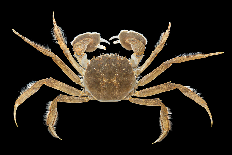 Chinese mitten crab – Chinese wolhandkrab – Eriocheir sinensis