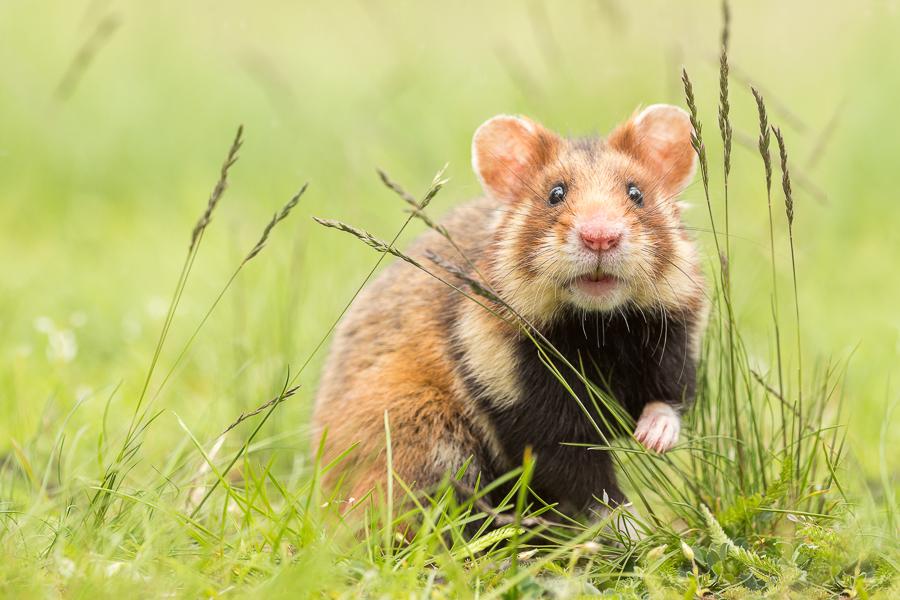 Europese hamster (Cricetus cricetus)