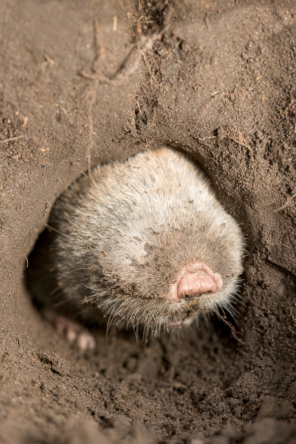 Lesser mole-rat (Spalax leucodon)