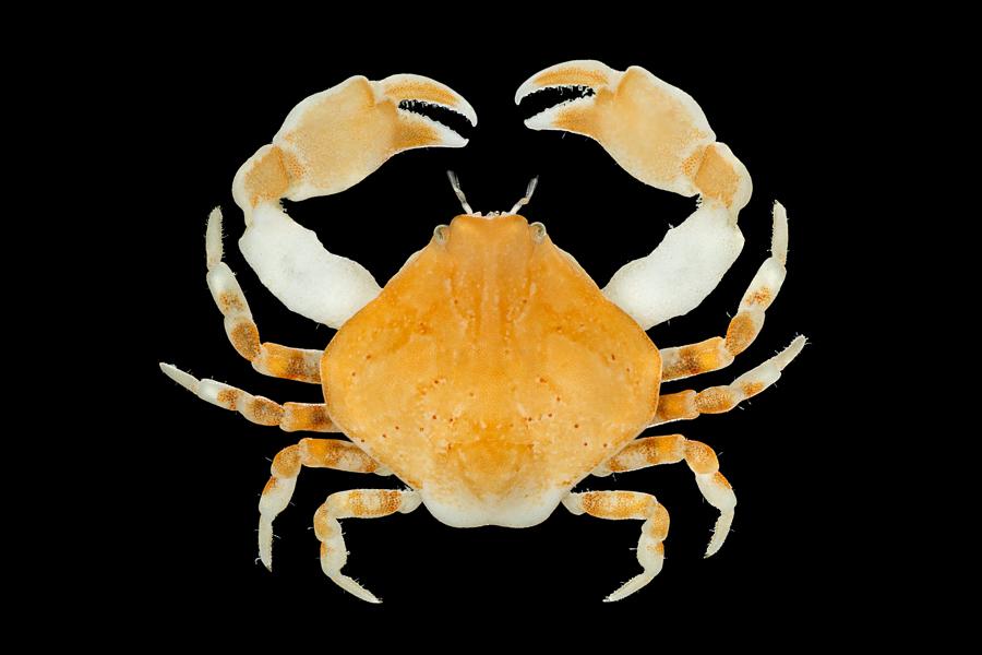 Bryer's nut crab – Gladde kiezelkrab – Ebalia tumefacta