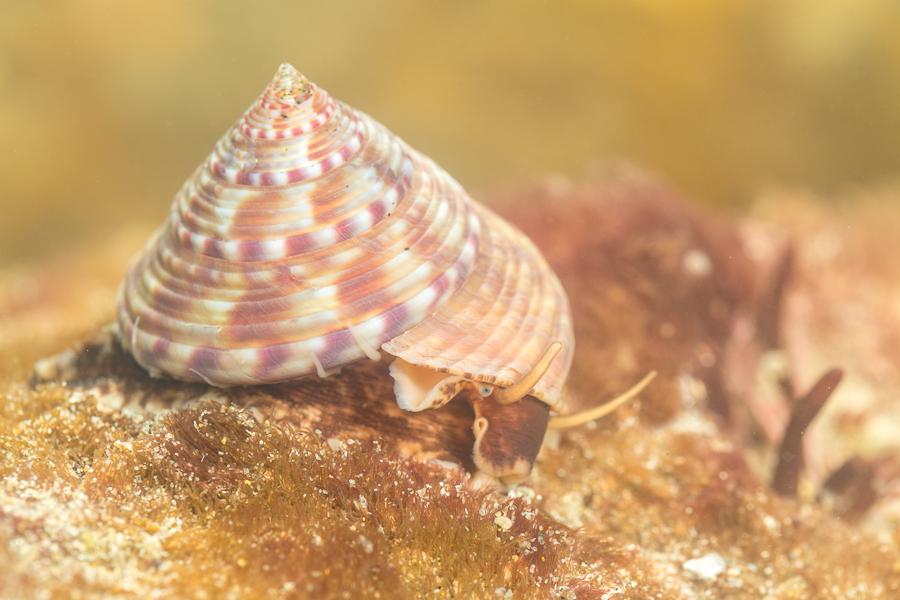 Gewone priktolhoren (Calliostoma zizyphinus)