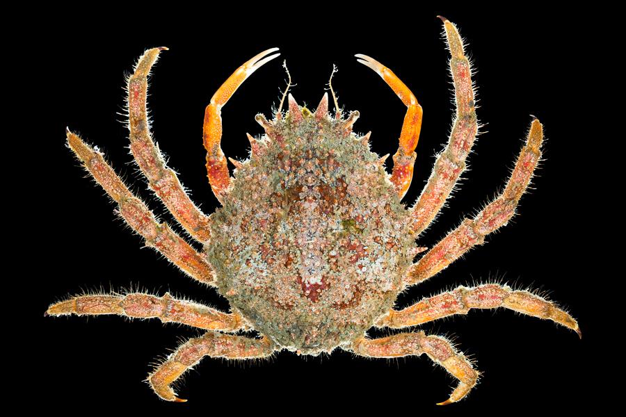Grote spinkrab (Maja brachydactyla)