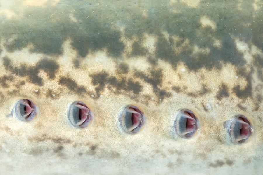 Zeeprik (Petromyzon marinus)