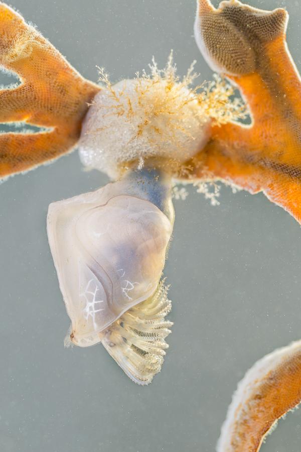 Geplooide eendenmossel (Dosima fascicularis)